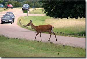 Ciervo en Richmond Park en Londres